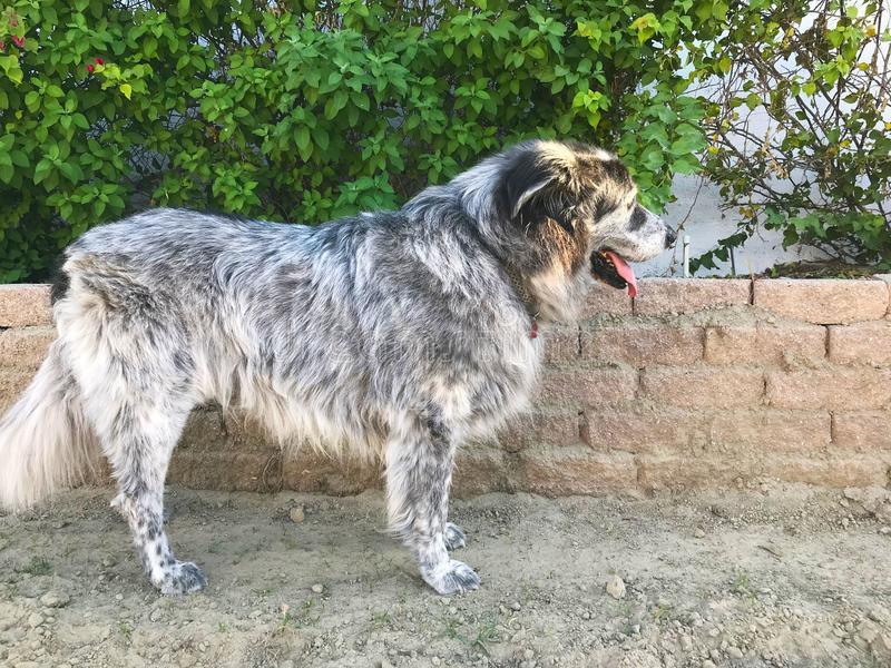 A Big Dog That Loves the Dirt. This giant dog loves playing. That usually means digging and rolling in the dirt though stock photo