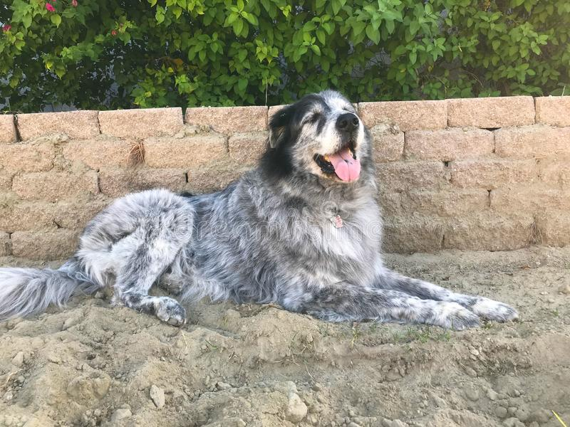 A Big Dog That Loves the Dirt. This giant dog loves playing. That usually means digging and rolling in the dirt though stock images