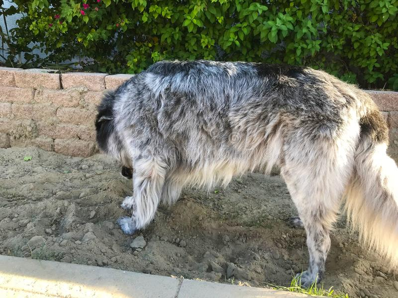 A Big Dog That Loves the Dirt. This giant dog loves playing. That usually means digging and rolling in the dirt though royalty free stock images