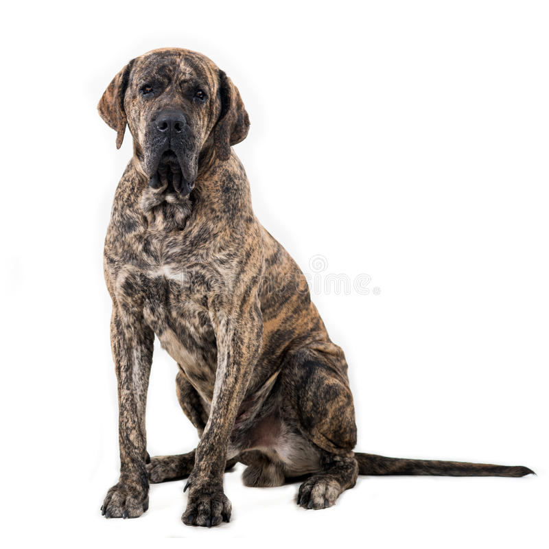 Big dog sitting. Isolated on white background. Brazilian fila royalty free stock images