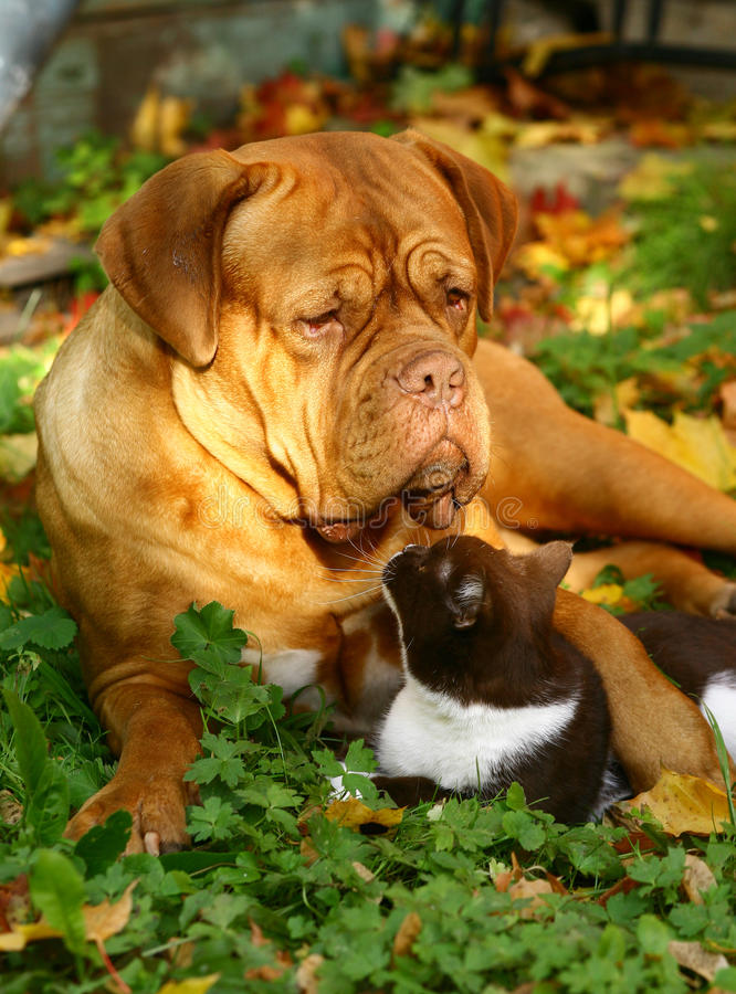 Big dog and small cat. royalty free stock image