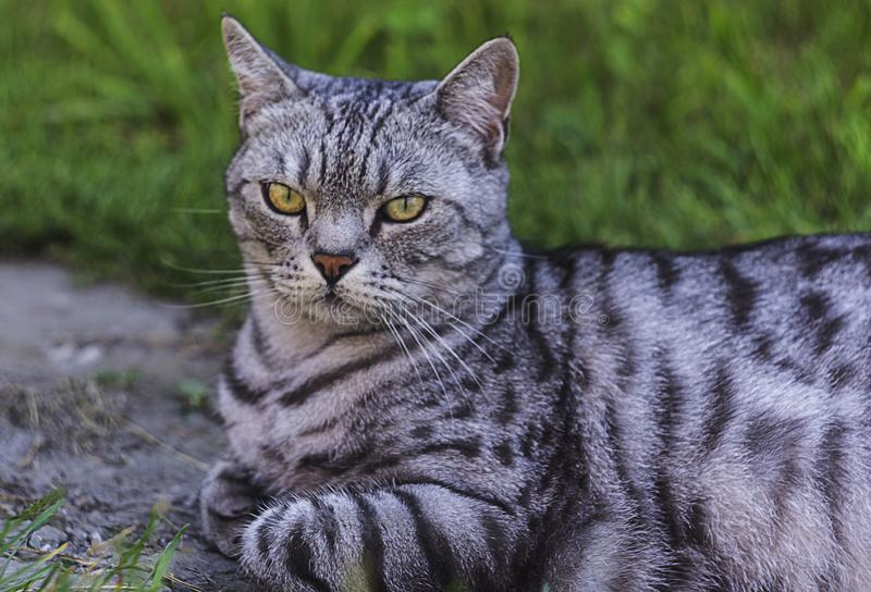 A big domestic cat in the grass. A big domestic cat is watching at something in the grass royalty free stock photo
