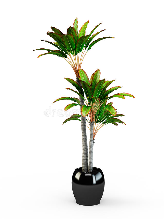 Free Big Dracaena Palm In A Pot Stock Images - 69910624