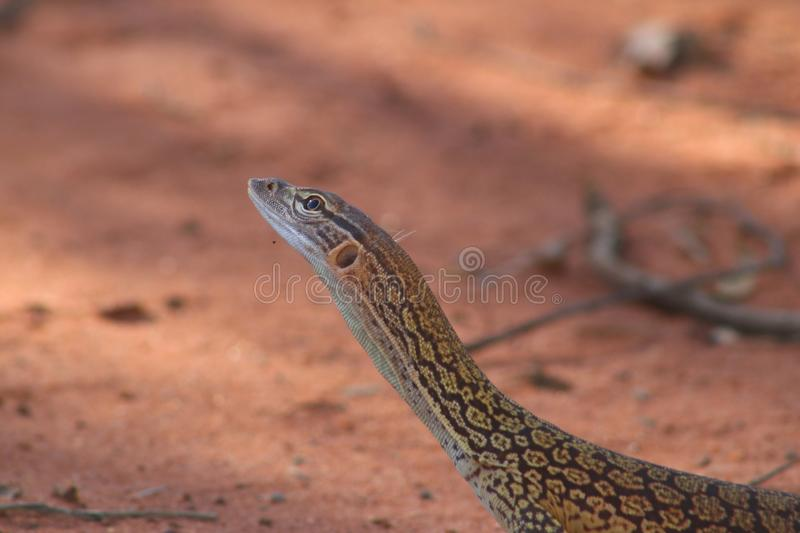 Big dragon like lizzard seen near Uluru, Yulara, Australia stock photography
