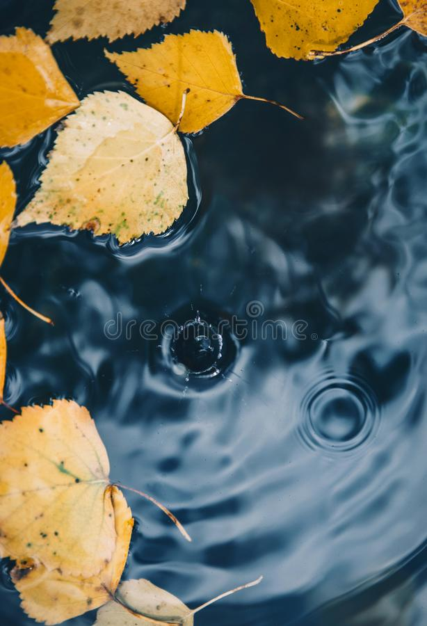 Free Big Drop Falling On Puddle Leaving A Radial Circles On Surface With Fallen Yellow Leaves On Water Royalty Free Stock Images - 159970349