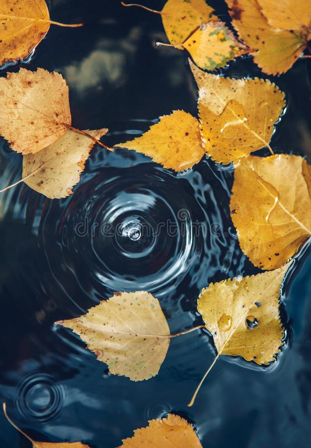 Big drop falling on puddle leaving a radial circles on surface with fallen yellow leaves on water stock image