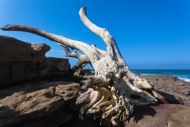 Big Dry Tree Rocks Storm Ocean. Large dried tree trunk washed up on rocks by natures powerful waves and ocean storms.Tropical rain storms flooding the areas and stock photography
