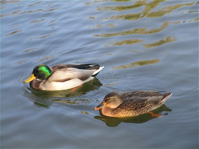 Big ducks on the water. royalty free stock photography