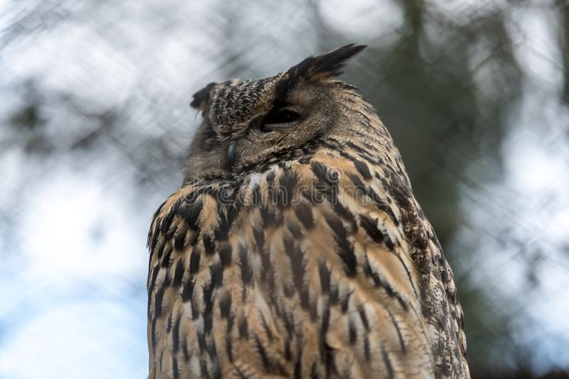 Big eagle owl stock images