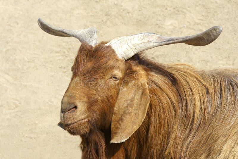 Download Big-ear sheep stock image. Image of horns, brown, macro - 18811347