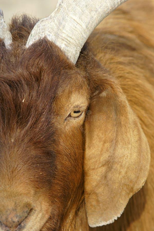 Download Big-ear sheep stock photo. Image of head, single, wild - 18811430