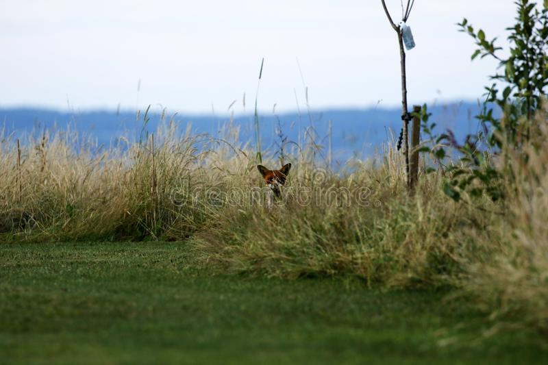 Mr Fox visiting our garden thinking he is hidden in the grass stock image