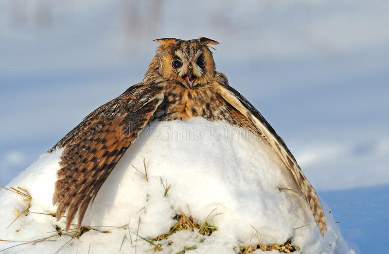 Download With big ears Owl stock image. Image of feathers, animals - 22750841
