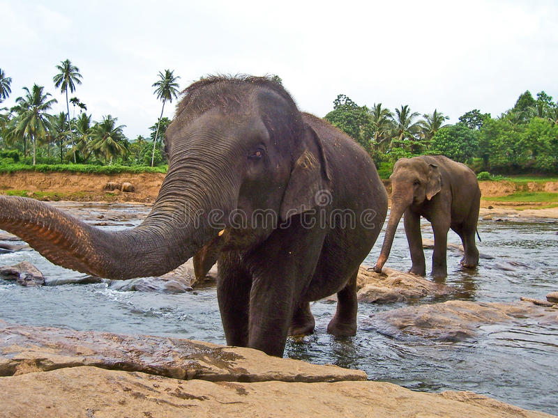 Big elefant shows trunk. Big elefant in the river shows his trunk by crossing the river royalty free stock photos