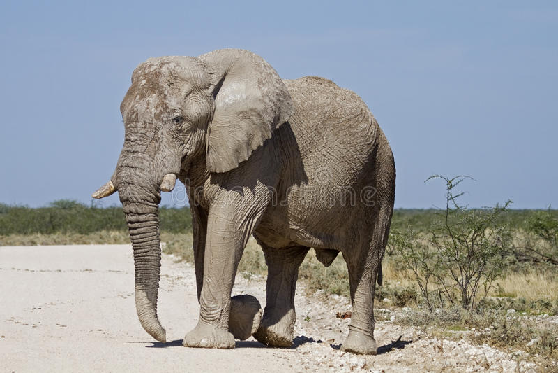 Download Big elephant bull stock image. Image of walking, southern - 18899101