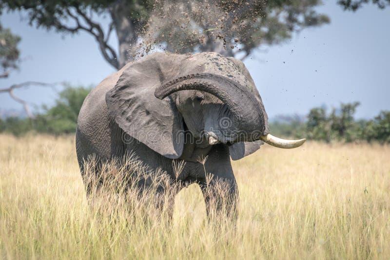 Big Elephant bull taking a dust bath. Big Elephant bull taking a dust bath in the Chobe National Park, Botswana royalty free stock photo