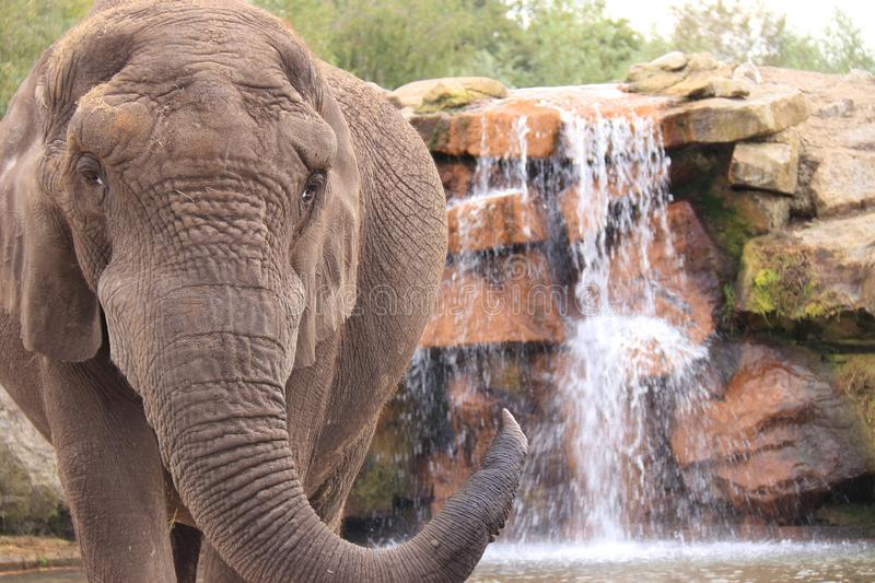 African elephant drinking from waterfall stock photos