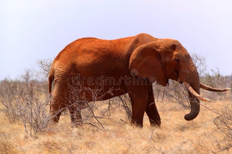 Big Elephant - Safari Kenya stock photo