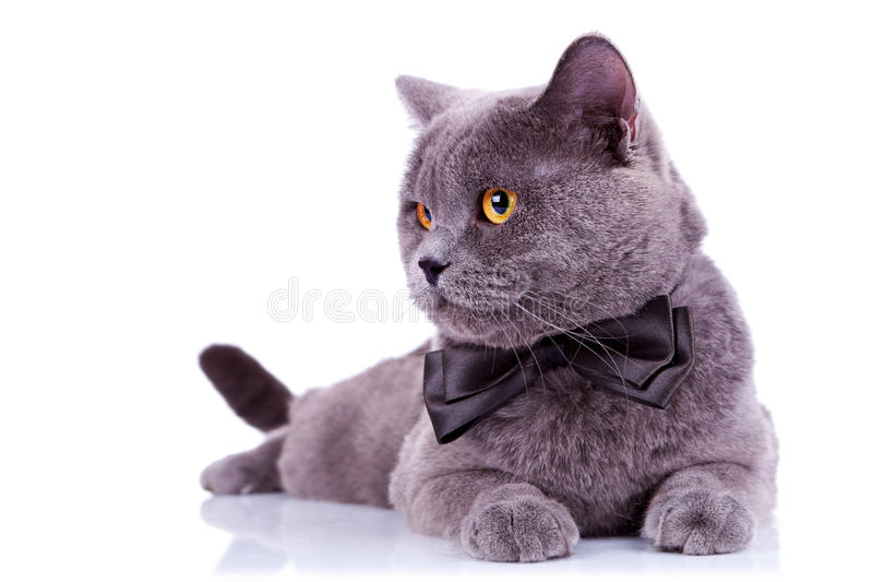 Big english cat with a bow tie stock photo