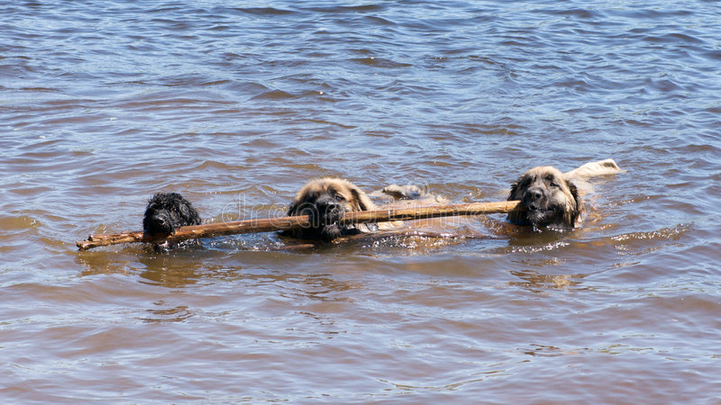 Big enough for three dogs. Three dogs bringing a stick to shore royalty free stock photo