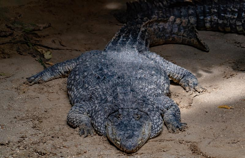 Big enourmous crocodile after lunch. Close up royalty free stock images