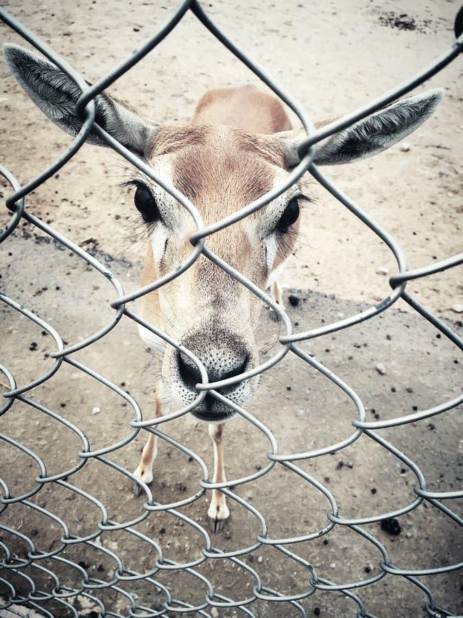 Big eyed deer royalty free stock photos