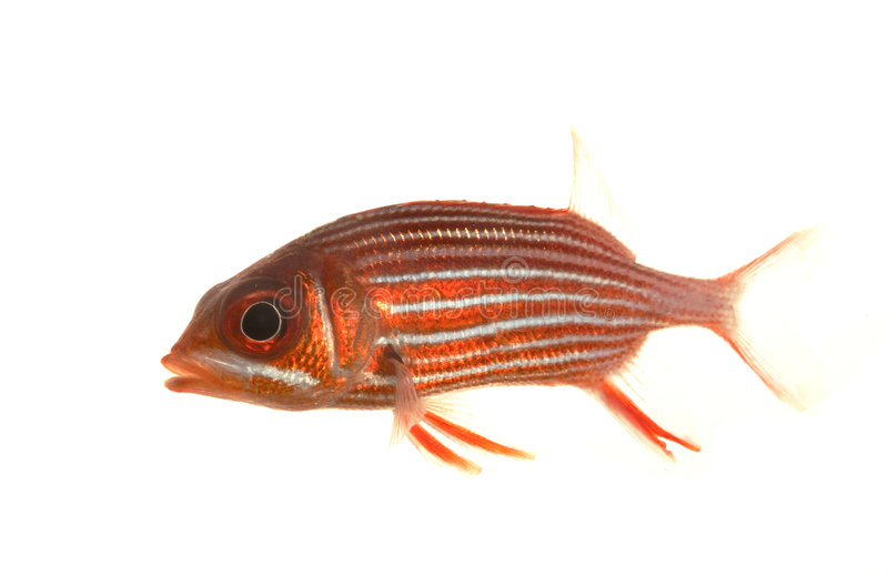 Big-eyed Soldierfish. (Myripristis jacobus) isolated on white background royalty free stock image