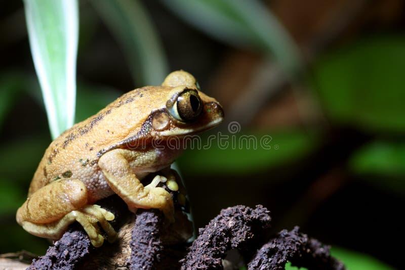 Big Eyed Tree Frog Royalty Free Stock Image