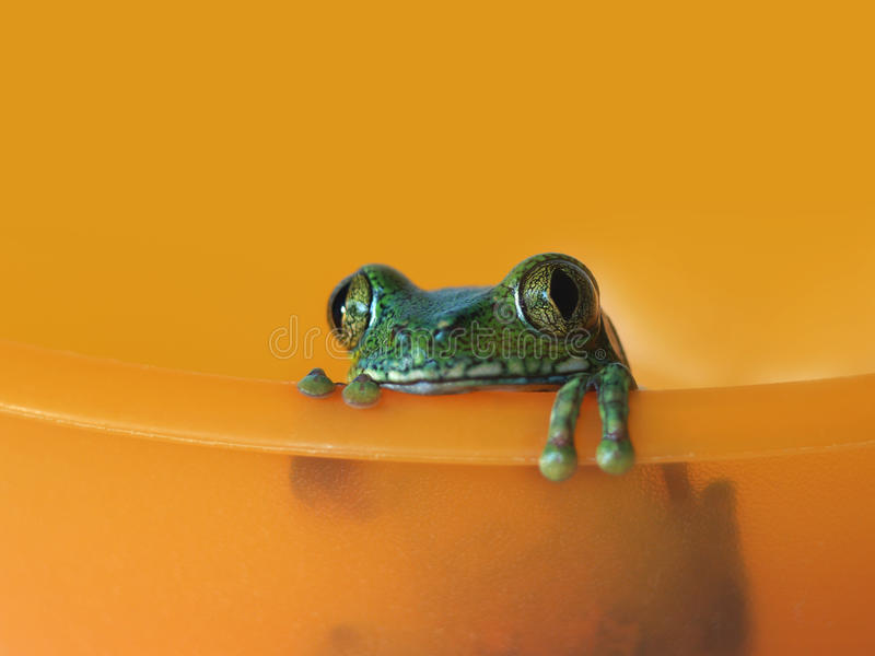 Download Big-eyed Tree Frog (5) Leptopelis Vermiculatus Stock Photo - Image of frogs, green: 30041824