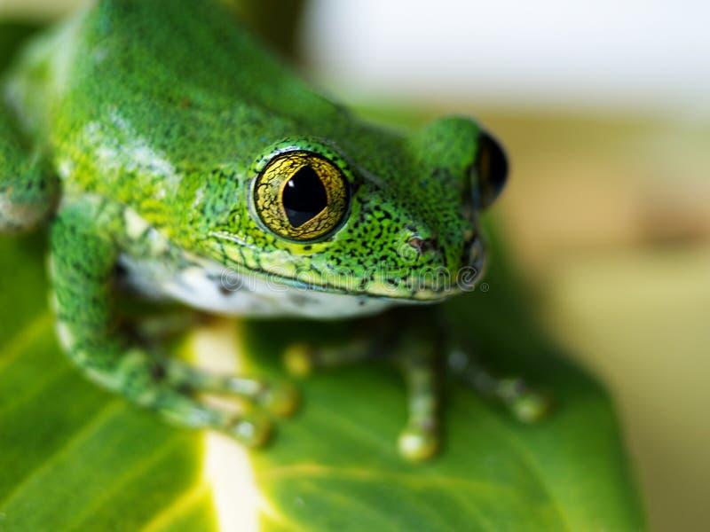 Big-eyed tree frog (7) leptopelis vermiculatus. Big-eyed tree frog, leptopelis vermiculatus is sitting on a green banana leaf stock image
