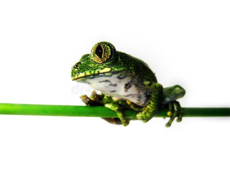 Download Big-eyed Tree Frog (9) Leptopelis Vermiculatus Stock Photo - Image: 31624706