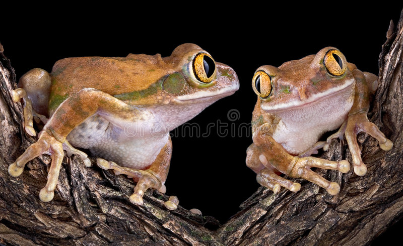 Big-eyed tree frog love. Two big-eyed tree frogs are on a branch. One is looking longingly at the other
