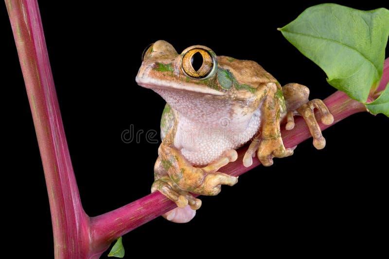 Download Big-eyed Tree Frog On Pokeweed Stock Photo - Image of macro, frog: 6503574