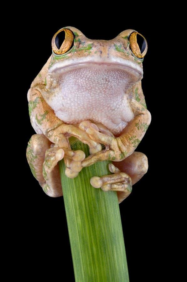 Big-eyed tree frog on stem stock image