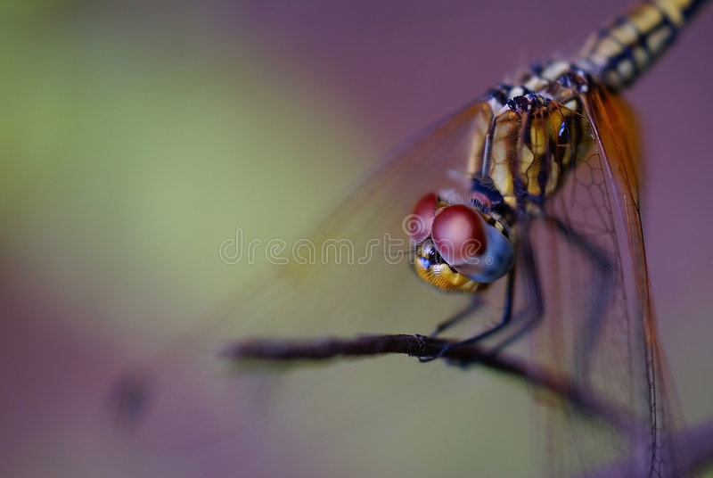 Download Big eyes stock image. Image of insect, dragonfly, closeup - 5539889