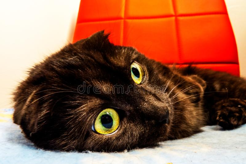 Big Eyes of a cute Scottish Fold Munchkin cat royalty free stock photos
