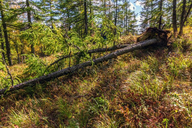 Big fallen pine. Golden autumn. Big fallen pine in the autumn coniferous forest of the Southern Urals royalty free stock photography