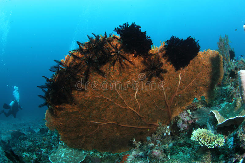 Big fan coral with feather stars. A huge fan coral with featherstars attached and divers in the backgorund stock image
