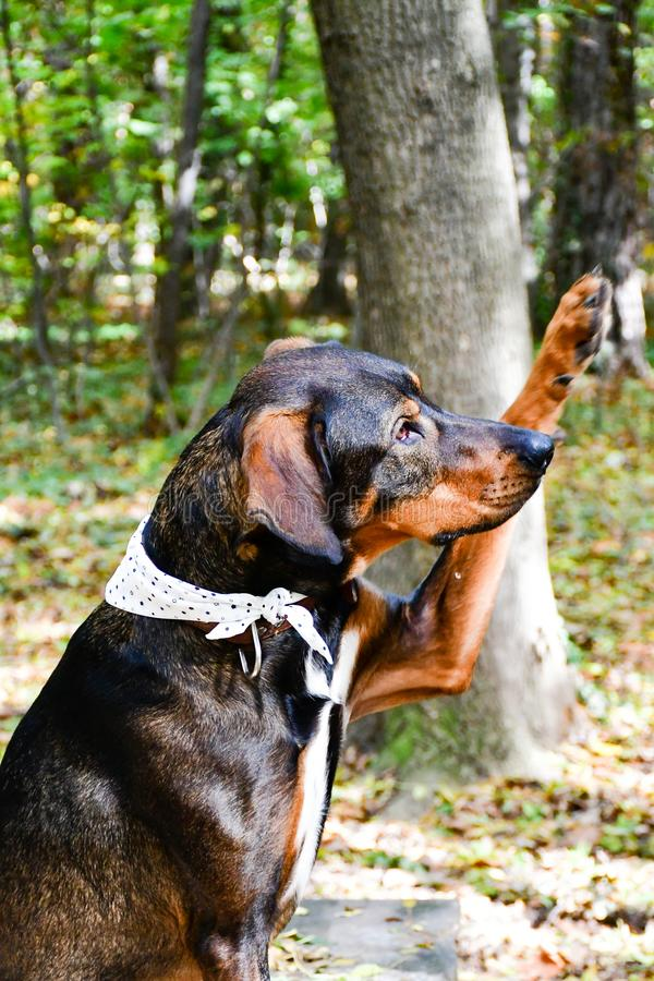 Fashion dog. Big fashion dog with a colorful scarf outdoor in the autumn stock image
