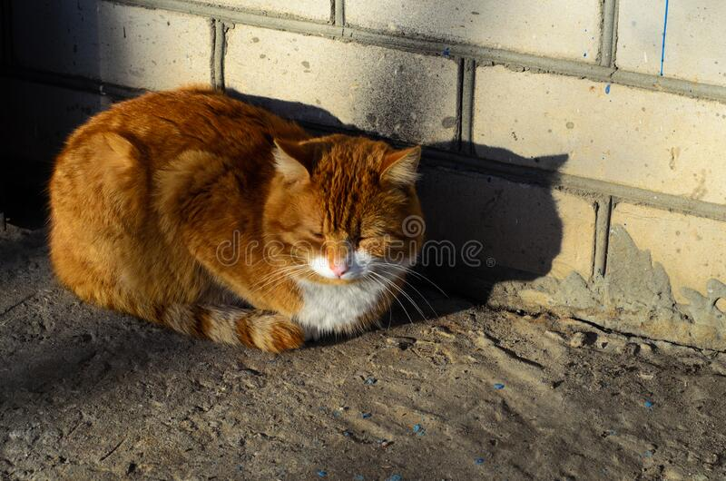 Big fat ginger cat royalty free stock photos