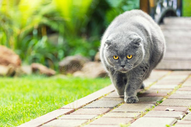 Big fat overweight serious grey british cat with yellow eyes walking on road at backyard outdoors with green grass lawn. On background. Like a boss cat portrait royalty free stock photos