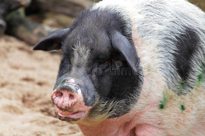 Big Fat Pig Stock Photography