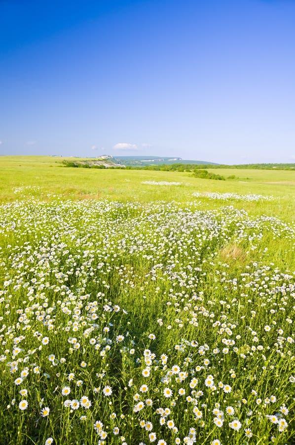 Big field of flowers on sunrise. royalty free stock image