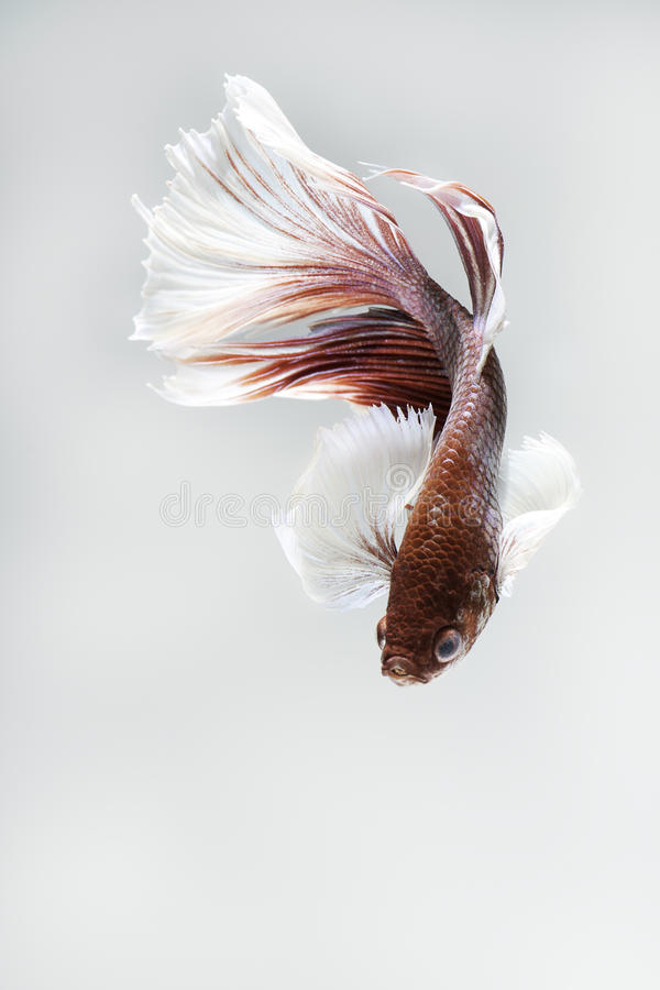Big fin Siamese fighting fish on grey background stock image