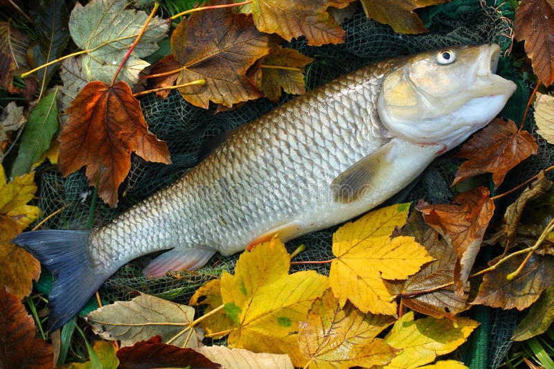 Big fish. Picture of a trophy fish. The Big European Chub (Squalius cephalus) on a landing net stock photo