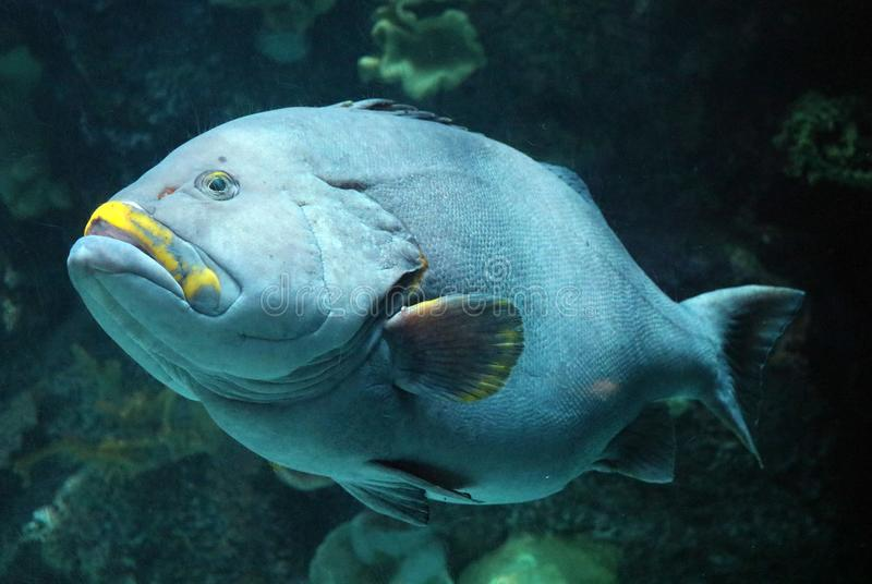 Big fish in aquarium at ocean, sea alt creature royalty free stock images