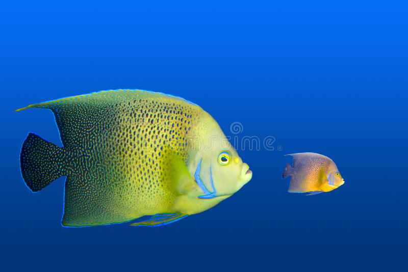 Big fish chasing small royalty free stock photography