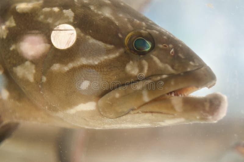 Download Big fish head stock photo. Image of predator, open, water - 36056836
