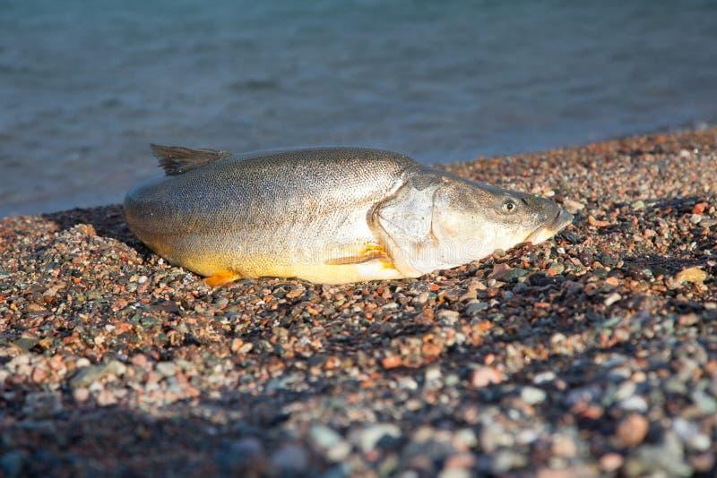 Big fish stock image