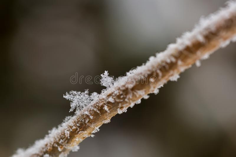 Big flakes of snow on branch. Selective focus of Snowflake on tr royalty free stock photo